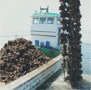 大野瀬戸の牡蠣水あげ